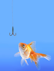 Goldfish looking to the fishhook.