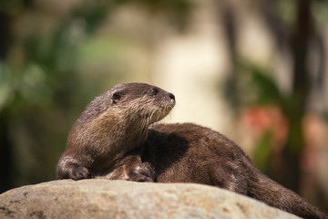 An Asian Short-clawed Otter Amblonyx cinereus, knows that it's f