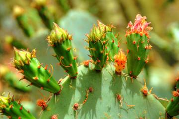 Prickly Pear Opuntieae Opuntia