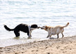 Two dogs playing on beach