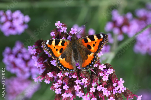 butterfly urticaria-face sits on a purple flower