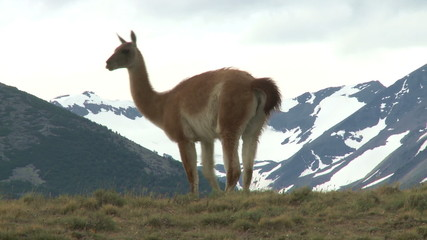 Chilean guanaco. Wildlife of Andes