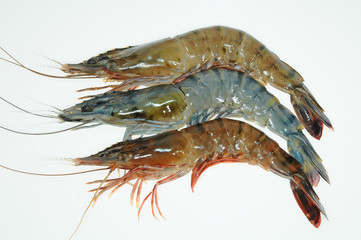 Three Live Prawns Isolation