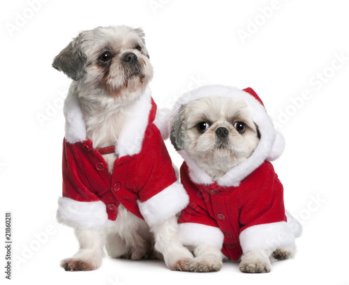 Shi-tzus in Santa coats, sitting in front of white background