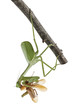 Stagmatoptera Sp, Stagmatoptera, praying mantis, eating