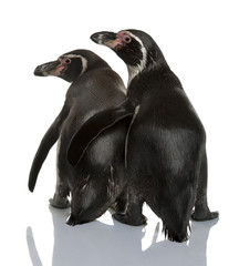 Rear view of Humboldt Penguins, standing and looking away