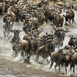 Wildebeest, crossing river Mara, Serengeti National Park