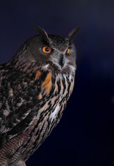 Eursian Eagle Owl Close Up (Bubo bubo)