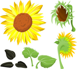 Set of a sunflower pictures