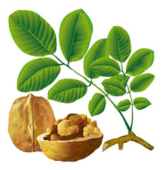 Walnut nut with leaf