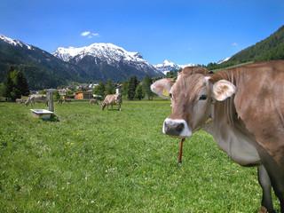 Neugierige Kuh auf Almwiese