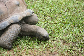 Giant tortoise chewing grass