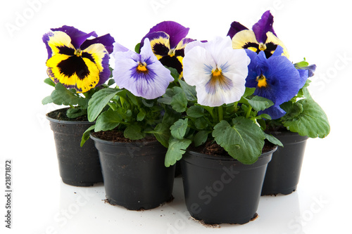 Staande foto Pansies Colorful Pansies
