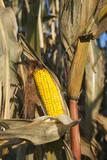 Corn in October poster