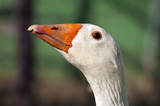 goose head with orange beak on blurred background poster