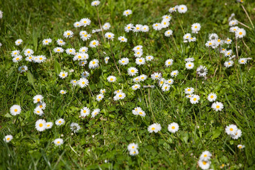 lot of daisies in green lawn