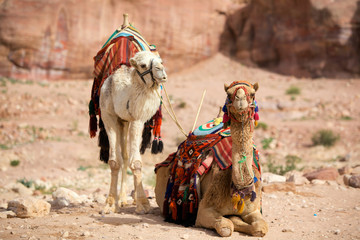 Two camels in Petra (Al Khazneh), Jordan