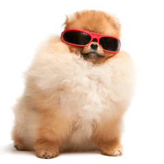 Pomeranian spitz puppy in red sunglasses