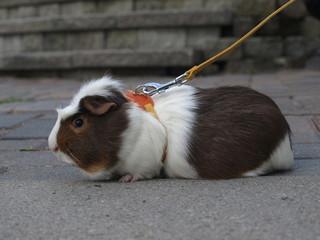 Guinea Pig on Leash