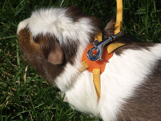 Guinea Pig in Harness