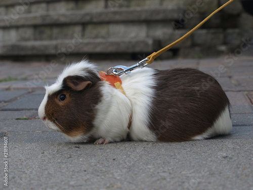 Guinea Pig on Leash
