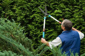 Senior man gardener cut a hedge