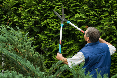 Senior man gardener cut a hedge