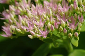 Rhodiola Rosea medicinal plant nb.10