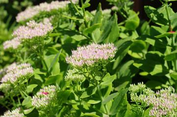 Rhodiola Rosea medicinal plant nb.13