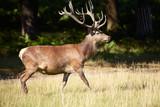 Royal stag on a forest fringe poster