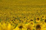 Sunflower,sunflowers field, flower,  Provence France