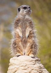A vigilant meerkat looking out for predators