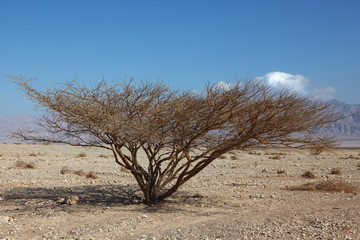 Lonely tree in stone desert