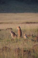I tre ghepardi