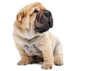 sitting sharpey puppy dog