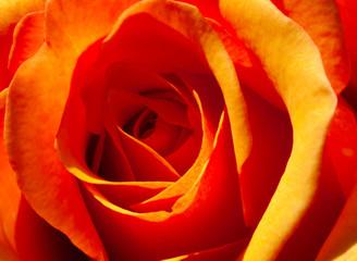 se up of an orange rose