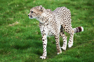 Beautiful cheetah in a green grass field