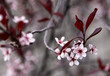 Purple Leaf Sand Cherry Flowers