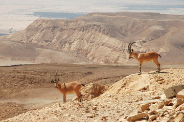 Ibexes on the cliff.