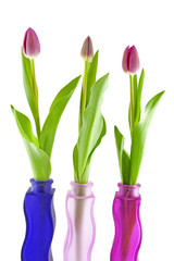 Three Dutch tulips in vase over white background