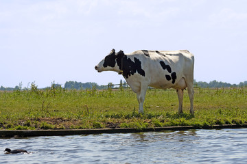 Typical black and white dutch cows