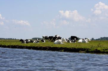 Typical Dutch cows
