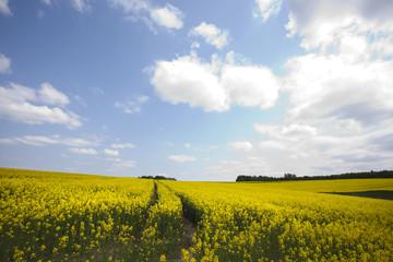 Yellow oilseed rape
