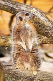 A vigilant meerkat looking out for predators poster