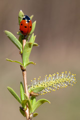 Ladybird and spring