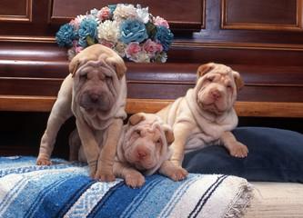 trois chiens de race shar pei sur les coussins