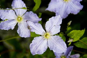 Clematis-Blüten