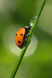 Ladybug drinking fresh morning dew.
