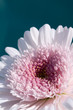 Single Pink Gerber Daisy