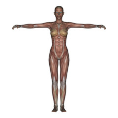3D render of a female skeleton with transparent muscles.
